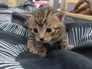 Bengal Cross Kittens TWO LEFT
