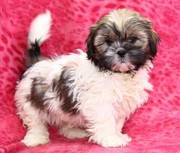Shih Tzu Puppy For Adoption
