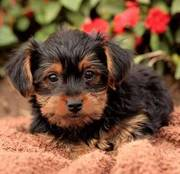 good lovely Yorkie Puppies for sale