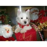 Snow West Highland White Terrier - Westie puppies