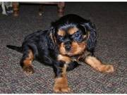Adorable Healthy Tricolor Male and Female Cavalier puppies available