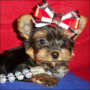 Lovely Yorkshire Terrier Puppies For Homes To Adopt