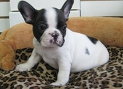 home trained french bull dog puppies fro sale in good homes